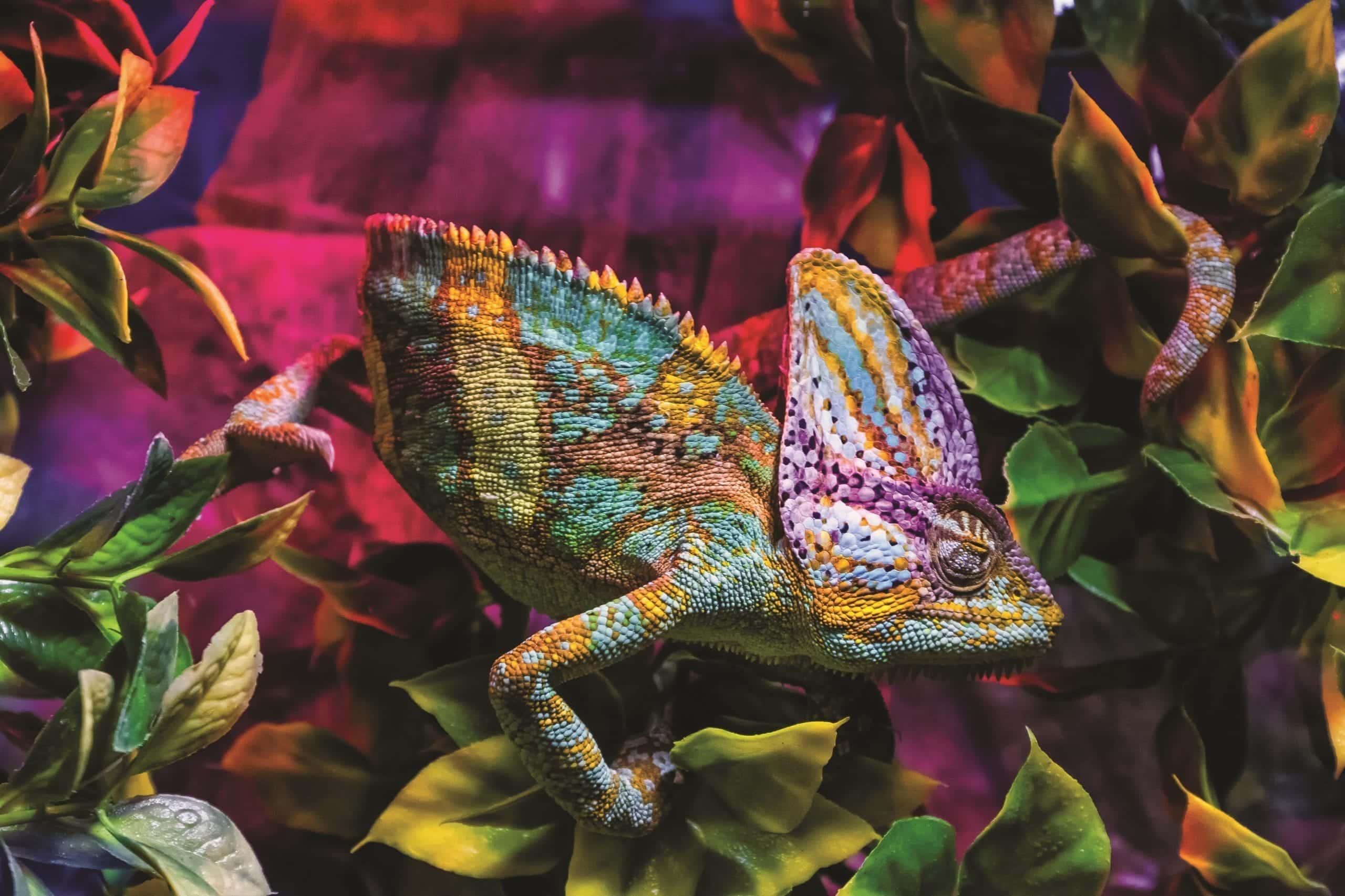 Uzhhorod, Ukraine - March 26, 2017: Chameleon in terrarium during an exhibition of terrarium animals.
