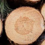 Freshly Cut Norway Pine